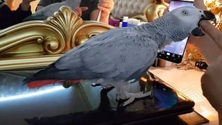 Злим попугая а он в ответ на нас ругается Попугай Рико говорит с хозяином