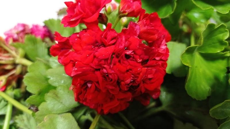Комнатные цветы Снова новинки Море пеларгонии и кое что еще