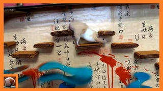 HAMSTER in NINJA MAZE with TRAPS [ Obstacle course]