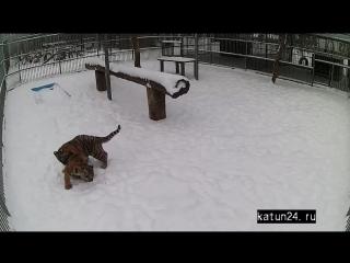 Веб-камеры К24. Игры тигрят в Барнаульском зоопарке