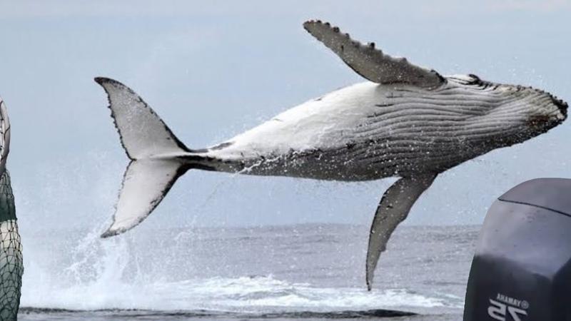 НЕВЕРОЯТНЫЕ ПРЫЖКИ КИТОВ Гигантский кит выпрыгнул из воды прямо перед лодкой