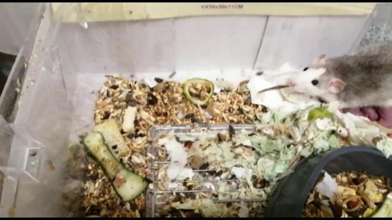 Видео от Сообщество помощи крысам с тяжелой судьбой