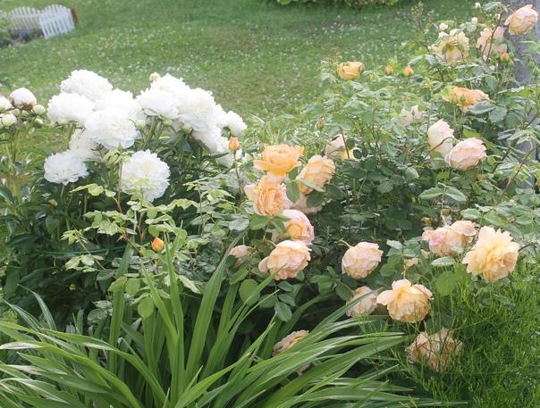 Продам пион белый, позднее цветение. Цветоносы кре...