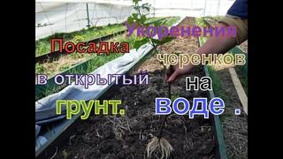Виноград . Простейшее укоренения черенков , без дополнительных затрат .  Часть 2.
